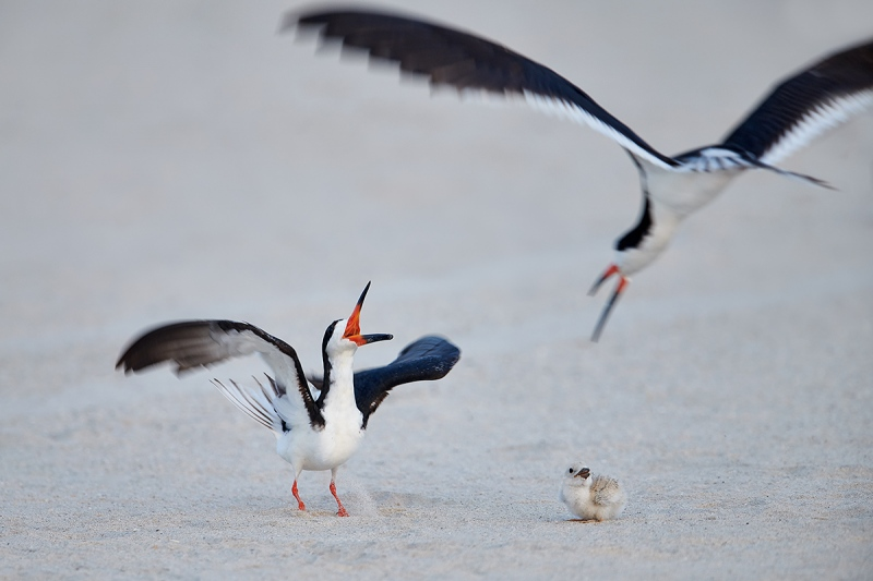 Black-Skimmer-defending-chick-_MAI2937Nickerson-Beach-Park-Gilgo-Beach-NY-1