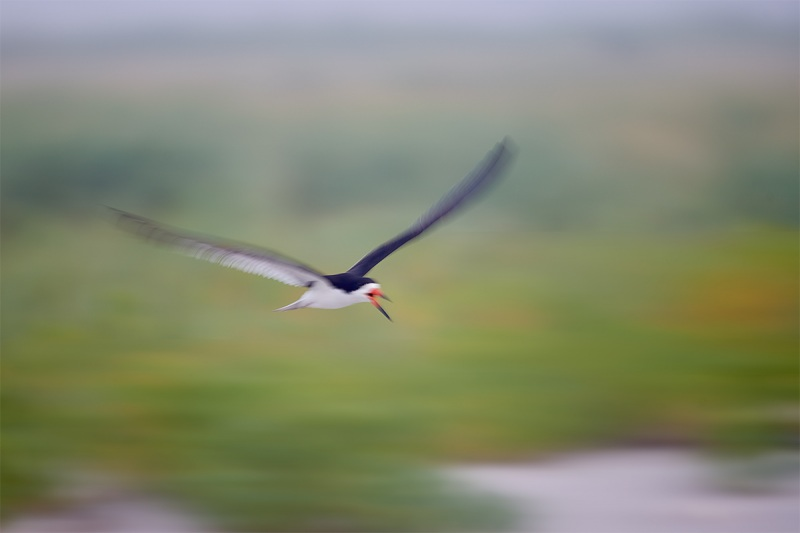 Black-Skimmer-flight-blur-1-30-sec-_MAI2395-Nickerson-Beach-Park-Lido-Beach-Long-Island-MY-1
