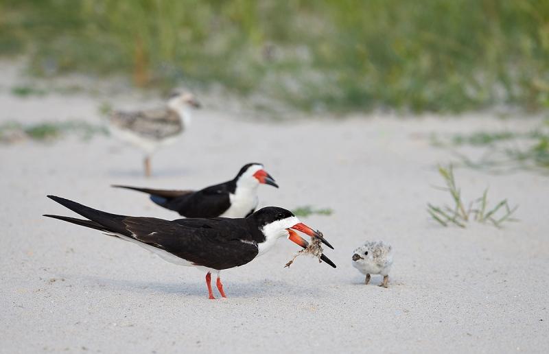 Black-Skimmer-offering-Common-Tern-nestling-to-chick-_MAI3702Nickerson-Beach-Park-Gilgo-Beach-NY-1