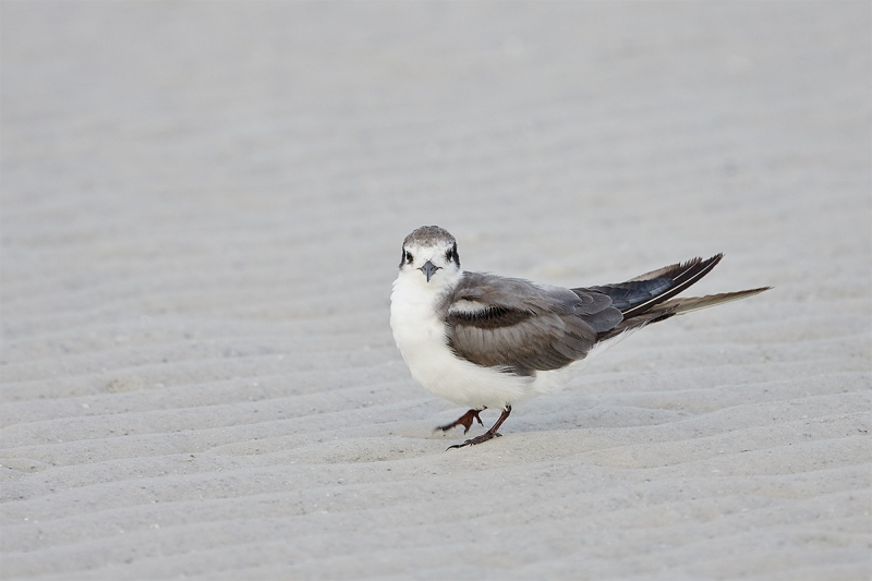 Black-Tern-sub-adult-_BUP4843-Fort-DeSoto-Park-Tierra-Verde-FL-1