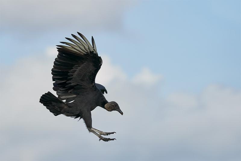 Black-Vulture-braking-to-land-_DSC7142-Indian-Lake-Estates-FL-1