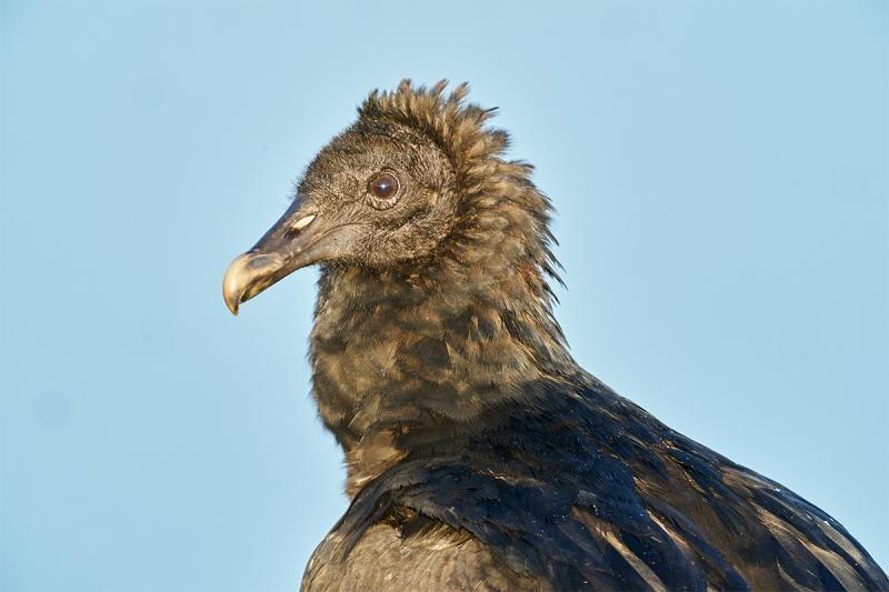 Black-Vulture-head-and-neck-protrait-_DSC0037-Indian-Lake-Estates-FL-1