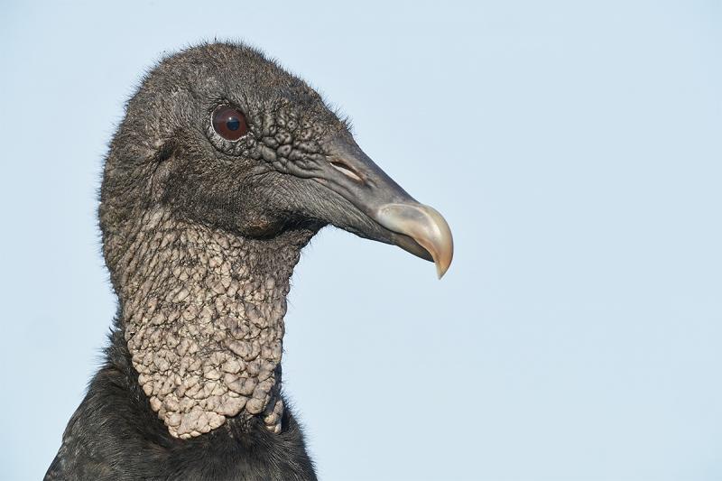 Black-Vulture-head-portrait-_DSC0517-Indian-Lake-Estates-FL-1