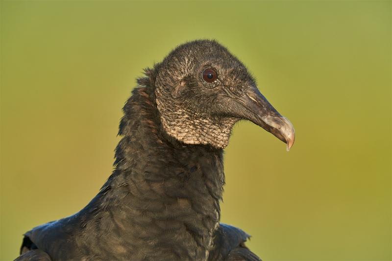 Black-Vulture-head-portrait-green-BKGR-_DSC4675-Indian-Lake-Estates-FL-1