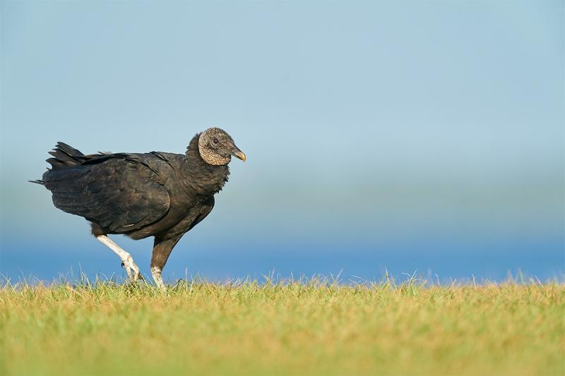 Black-Vulture-in-a-hurry-_A9B0064-Indian-Lake-Estates-FL-1