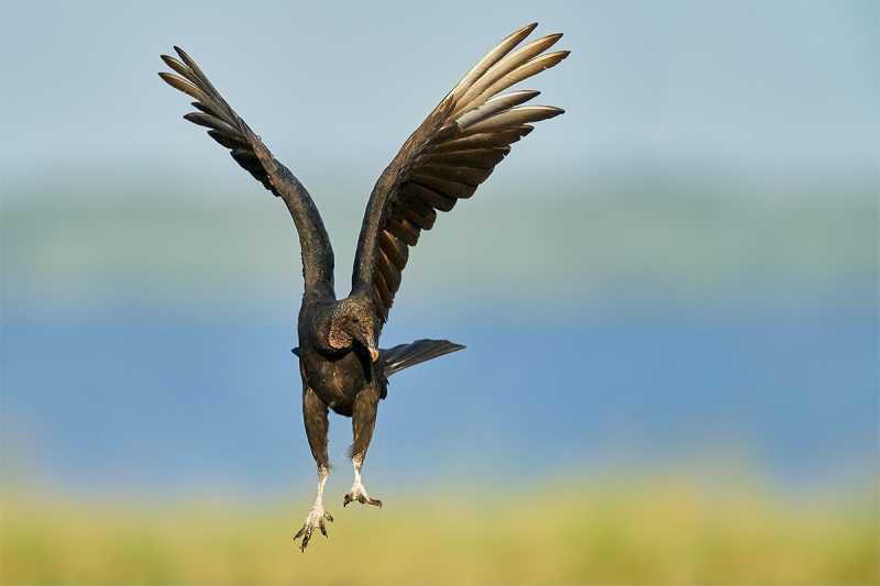 Black-Vulture-landing-_A927769-Indian-Lake-Estates-FL-1