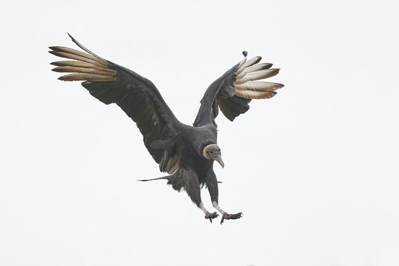 Black-Vulture-landing-_A9B6013-Indian-Lake-Estates-FL-1