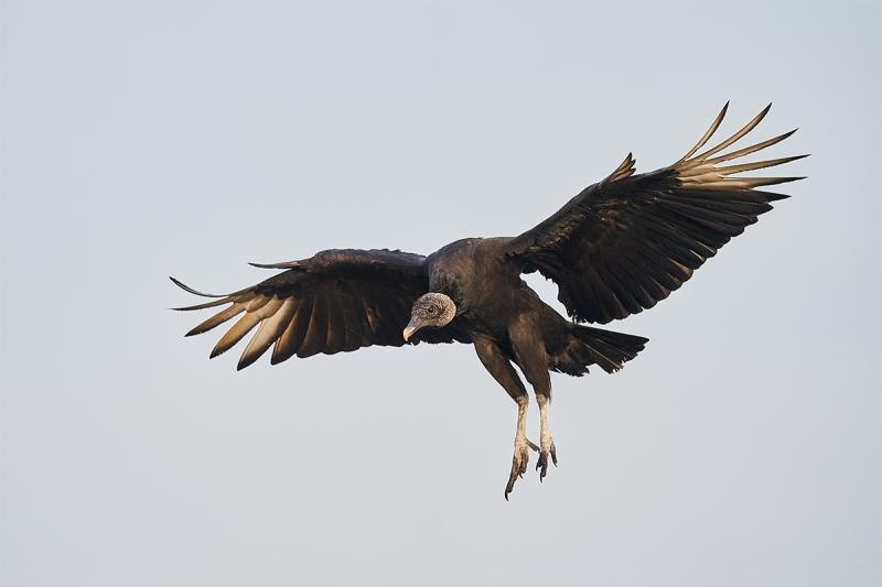 Black-Vulture-landing-_A9B8473-Indian-Lake-Estates-FL-1