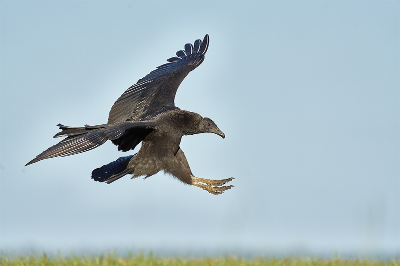 Black-Vulture-landing-_DSC5566-Indian-Lake-Estates-FL-1