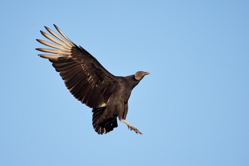 Black-Vulture-ready-to-land-_Q5A8635-Indian-Lake-Estates-FL-1