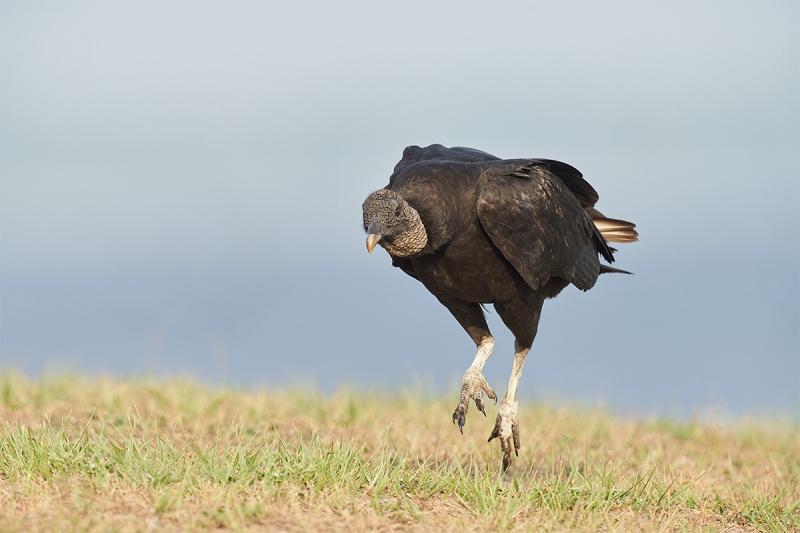 Black-Vulture-running-_7R48178-Indian-Lake-Estates-FL-1