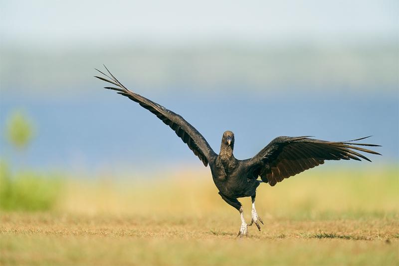 Black-Vulture-running-excitedly-_A927734-Indian-Lake-Estates-FL-1