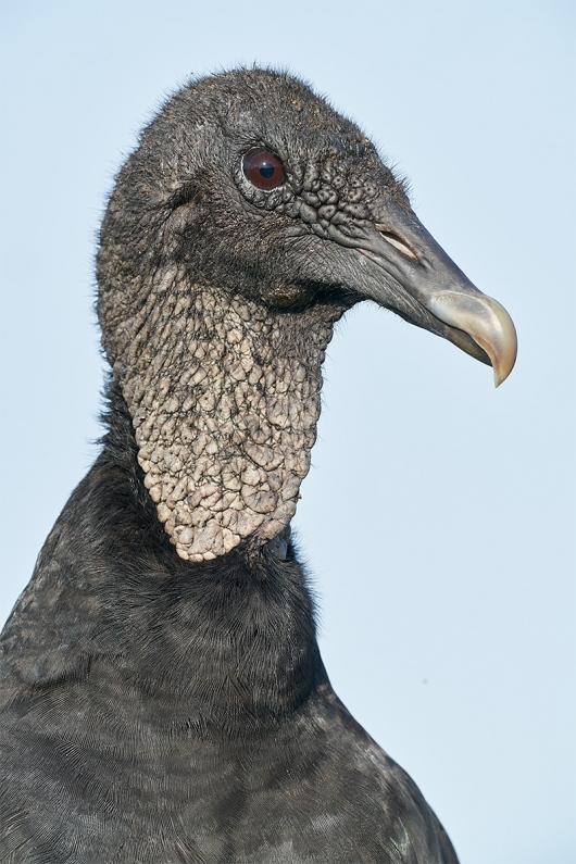 Black-Vulture-vertical-head-portrait-_DSC0530-Indian-Lake-Estates-FL-1