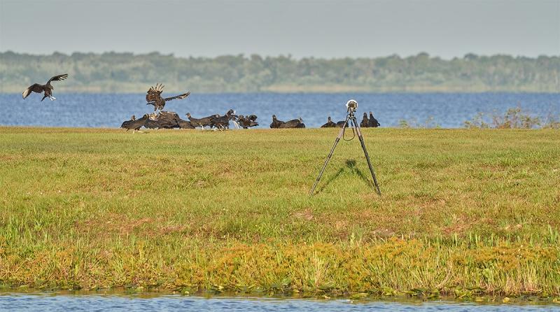 Black-Vultures-at-feeeding-station-_7R40336-Indian-Lake-Estates-FL-1