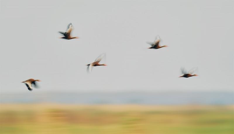 Black-bellied-Whislting-Duck-pan-blur-_A9B9852Anahuac-NWR-TX-1