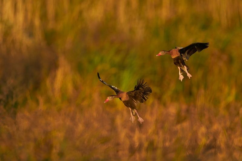 Black-bellied-Whistliing-Ducks-landing-_A924526-Anahauc-NWR-TX-1