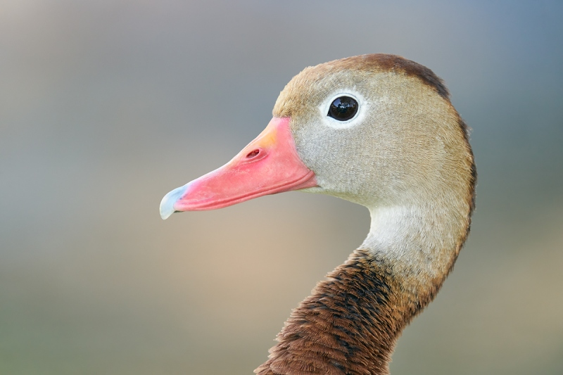 Black-bellied-Whistling-Duck-head-portrait-_A9B5251-South-Padre-Island-TX-2