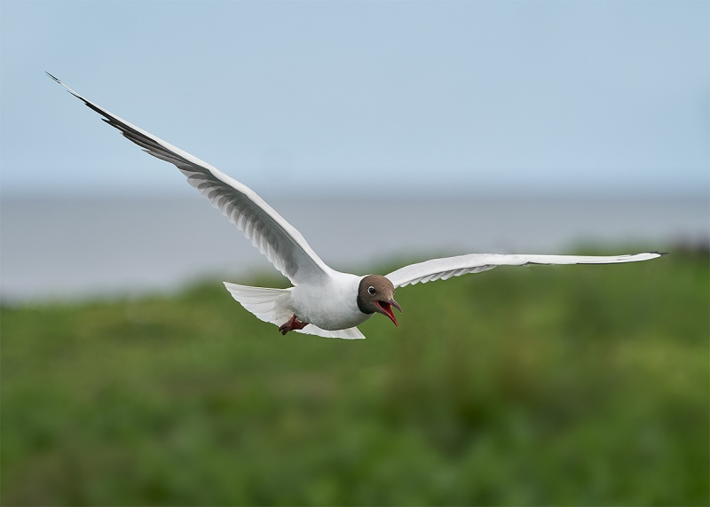 Black-headed-Gull-adult-in-flight-_A9A5209-Seahouses-UK-1