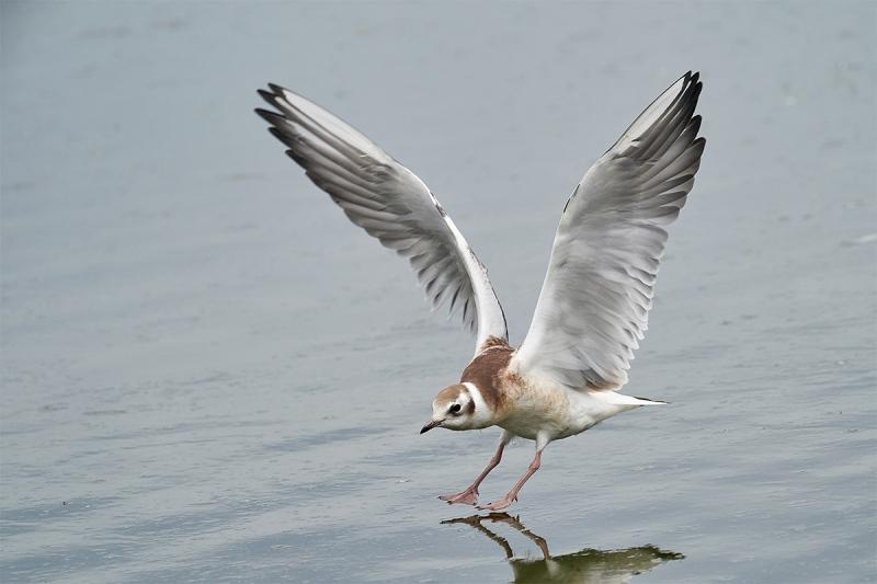 Black-headed-Gull-juvenile-landing-_A9A5012-Seahouses-UK-1