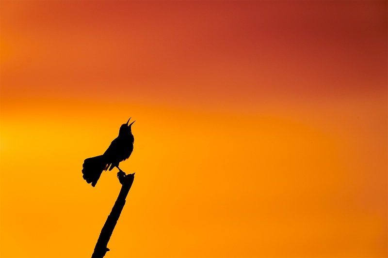 Boat-tailed-Grackle-display-song-at-sunset-_A9B9417-Indian-Lake-Estates-FL-1