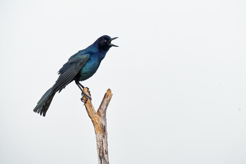 Boat-tailed-Grackle-male-singing-_7R43086-Indian-Lake-Estates-FL-1