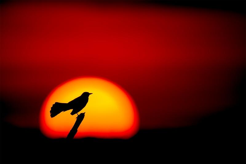 Boat-tailed-Grackle-sun-ball-_A9B9972-Indian-Lake-Estates-FL-1