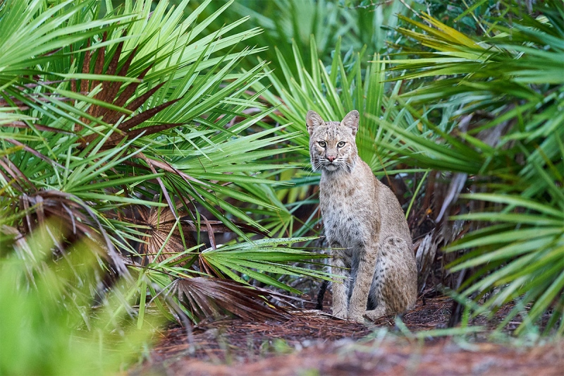 Bobcat-_A9B4278-Indian-Lake-Estates-FL-1