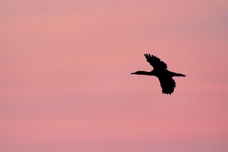 Brandts-Cormorant-against-pink-sky-_A922469-La-Jolla-CA-1