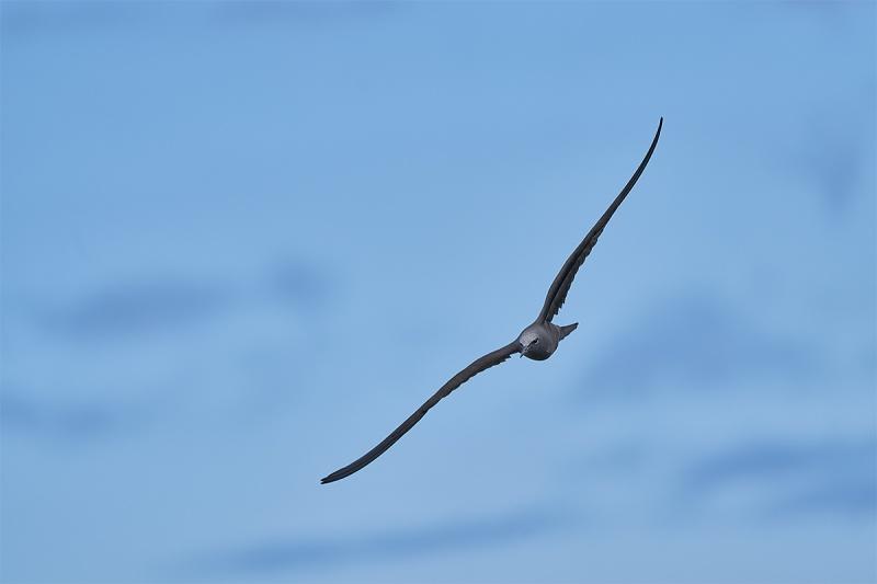 Brown-Noddy-in-flight-a-a7-iii-_A7R9899-Punta-Moreno-Isabela-Galapagos-1