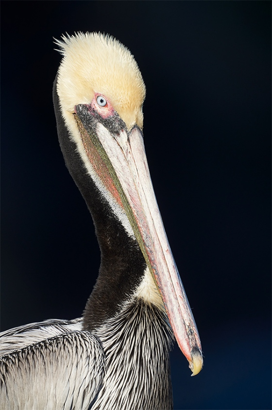 Brown-Pelican-BLACKGround-_7R46526-La-Jolla-CA-1
