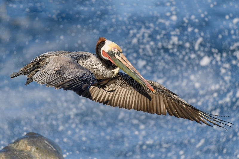Brown-Pelican-Pacific-race-jumping-off-rock-_DSC3245--La--Jolla,-CA