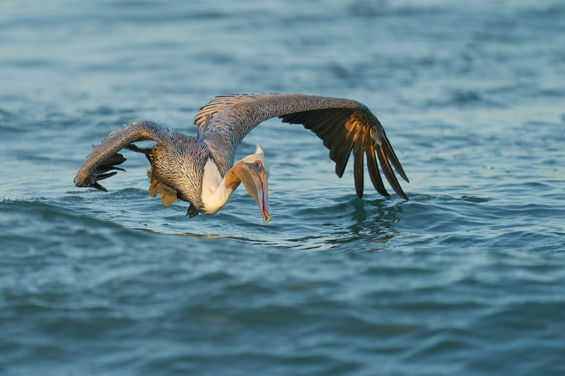 Brown-Pelican-about-to-hit-the-water-_A926278-South-Padre-Island-TX-1
