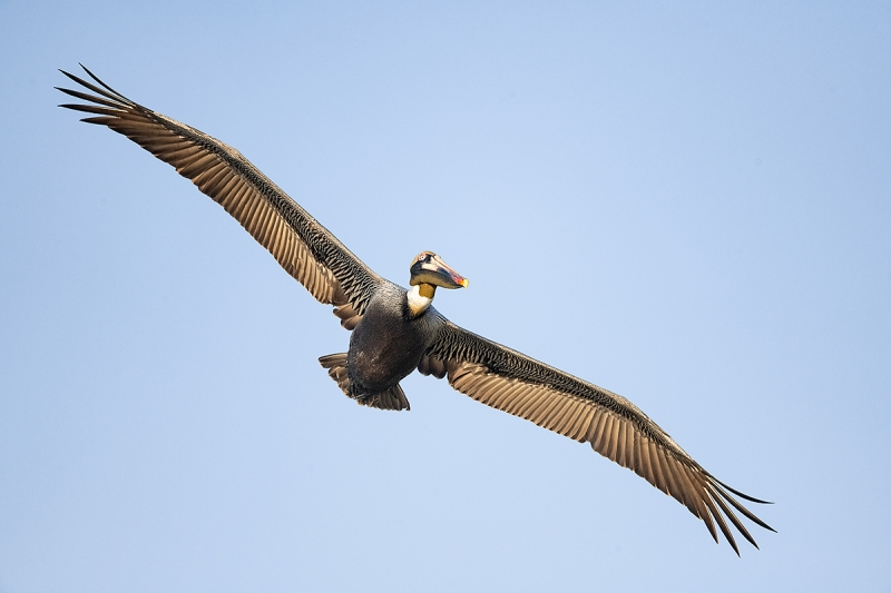 Brown-Pelican-angled-flight-_MAI2397-Lakeland,-FL