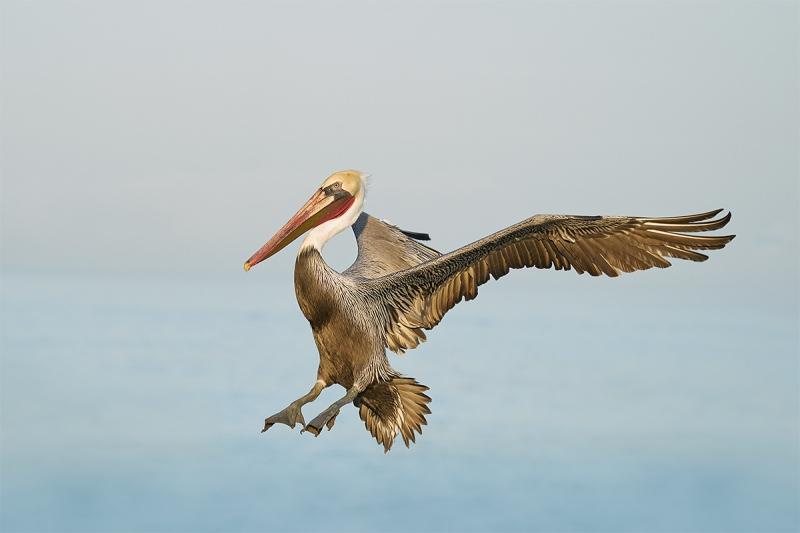 Brown-Pelican-brakng-to-land-_A922667-La-Jolla-CA-1