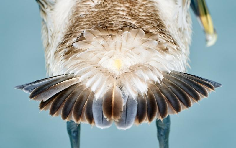 Brown-Pelican-butt-_A920627-Fort-DeSoto-Park-Tierra-Verde-FL-1