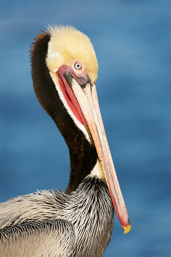 Brown-Pelican-classic-breeding-plumage-head-and-shoulders-_A922493-La-Jolla-CA-1