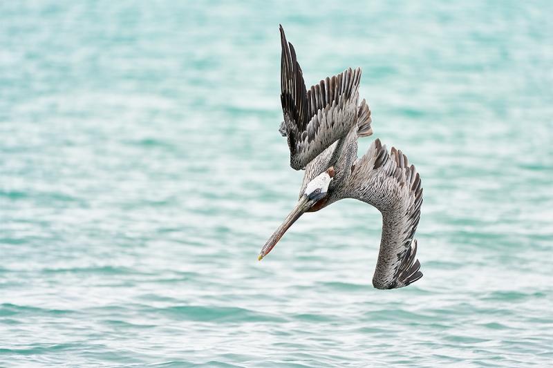 Brown-Pelican-diving-a_A7R3697-Santa-Fe-Galapagos-1