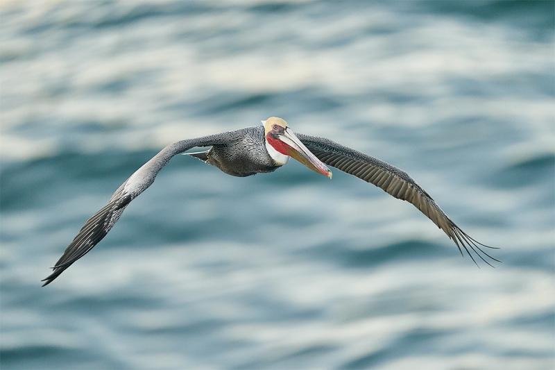 Brown-Pelican-flight-Pacific-race-breeding-plumage-_A922015-La-Jolla-CA-1