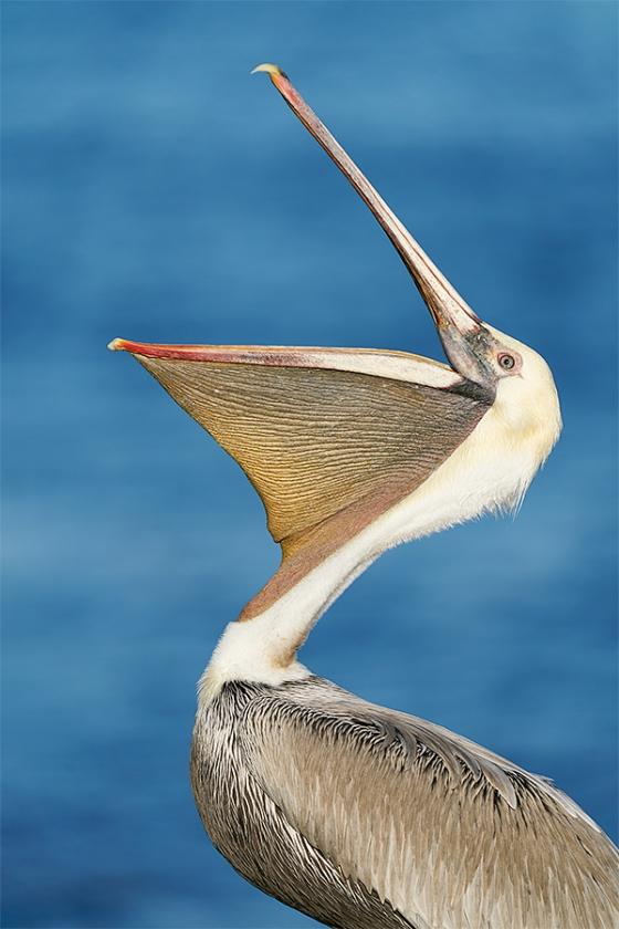 Brown-Pelican-head-throw-_A927883-La-Jolla-CA-1