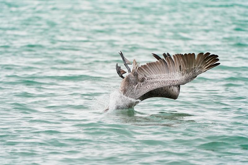 Brown-Pelican-hitting-water-a_A7R3698-Santa-Fe-Galapagos-1