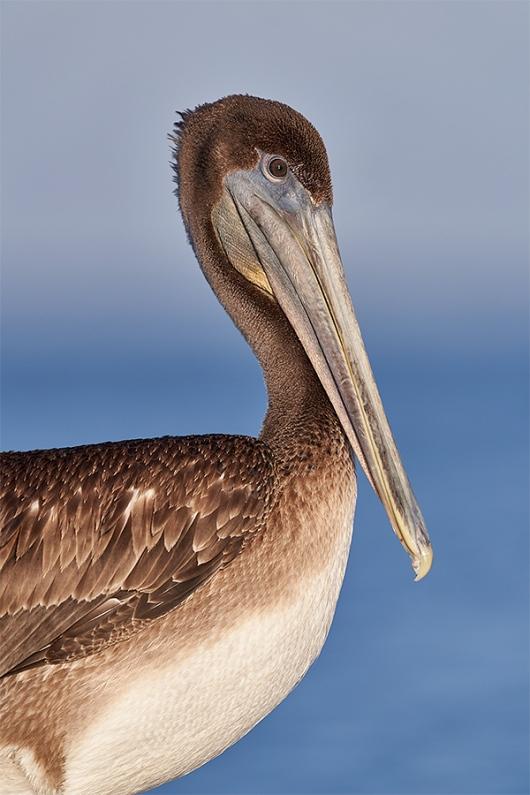 Brown-Pelican-immature-head-neck-and-breast-portait_DSC2526-Fort-DeSoto-Park-Pinellas-County-FL-1