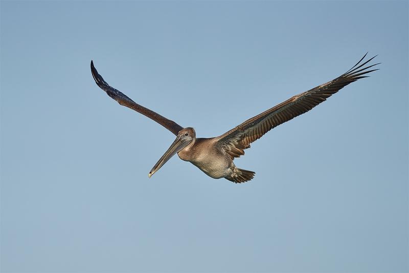 Brown-Pelican-immature-in-flight-_DSC1735-Fort-DeSoto-Park-Pinellas-County-FL-1