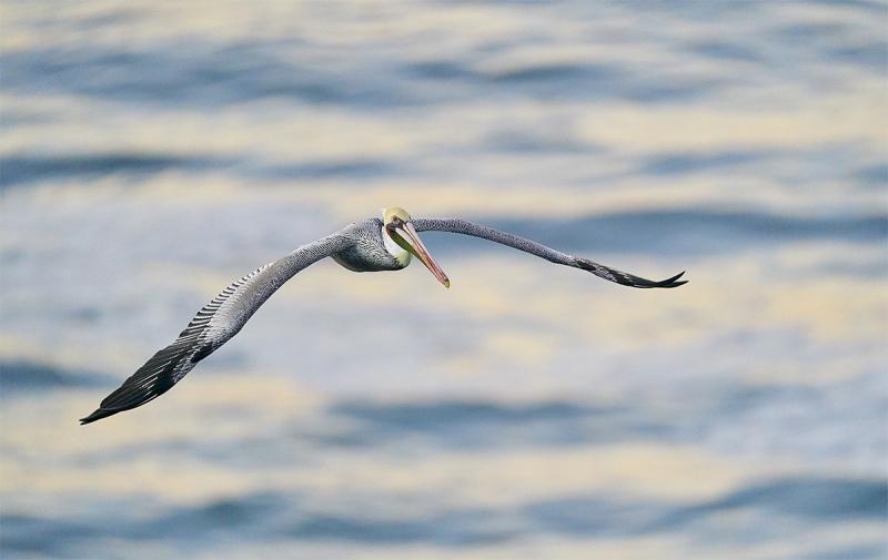 Brown-Pelican-in-flight-low-light-_A922391-La-Jolla-CA-1