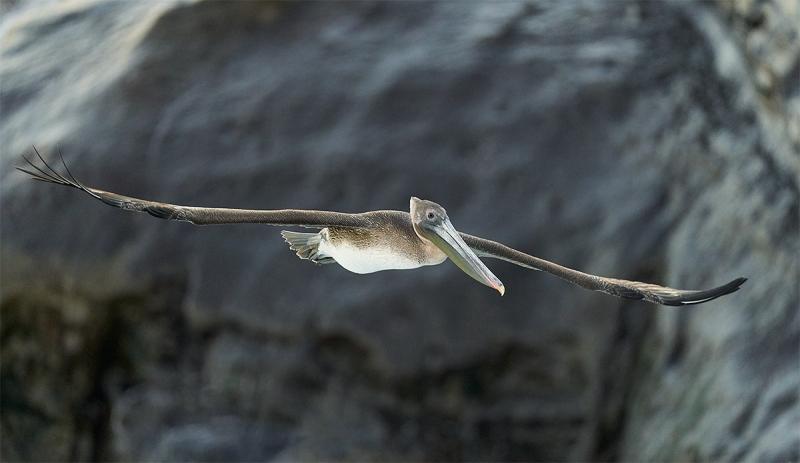 Brown-Pelican-juvenile-flying-against-cliff-face-_A922173-La-Jolla-CA-1