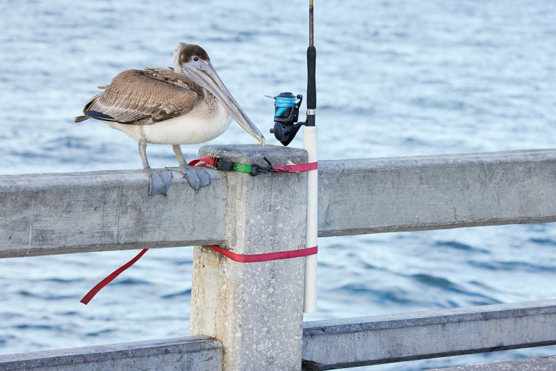 Brown-Pelican-on-pier-railing-_Q5A7642-Sunshine-Skyway-region-FL-1