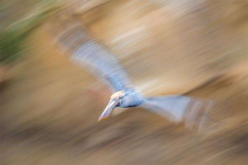 Brown-Pelican-pan-blur-against-cliff-_MAI6126-San-Diego-CA