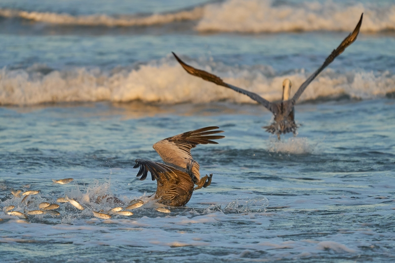 Brown-Pelicans-diving-for-finger-mullet-_A938991-South-Padre-Island-Oct-2020