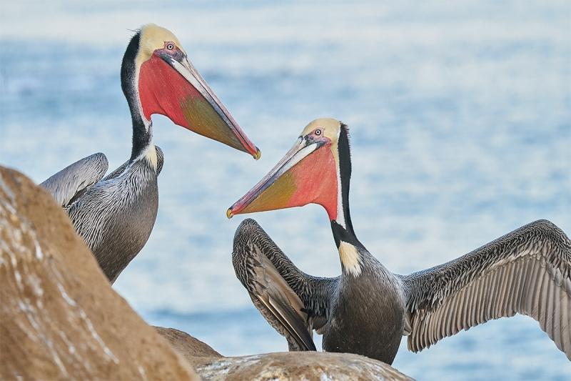 Brown-Pelicans-greeting-_A923358-La-Jolla-CA-1