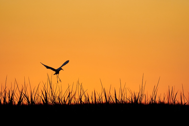 Cattle-Egret-A-landing-at-sunset-_A920749-Indian-Lake-Estates-FL-1