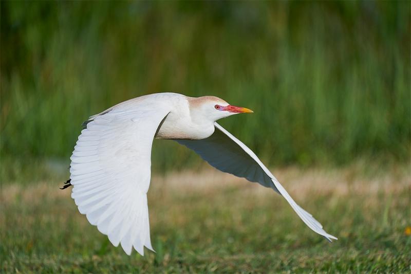 Cattle-Egret-breeding-plumage-taking-flight-downstroke-_A926016-Indian-Lake-Estates-FL-1